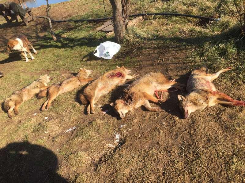 NEO Τσακάλι – αλεπού – λύκος, κορακοειδή, 365 μέρες